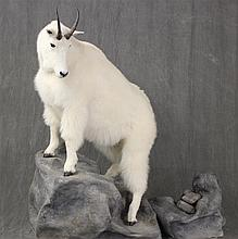 Mountain Goat Full Body Mount, British Columbia