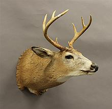 Whitetail Deer Shoulder Mount, 8 Point, New York