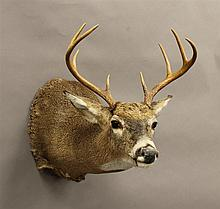 Whitetail Shoulder Mount, 8 Point, New York
