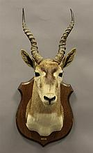 Gazelle Shoulder Mount on Wood Plaque, Africa