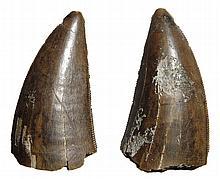 Albertosaurus therapod dinosaur tooth, Late Cretaceous
