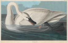 John James Audubon, Plate 406: