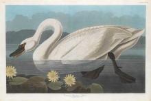 John James Audubon, Plate 411: