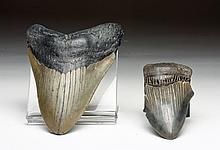 Lot of 2 Huge Megalodon Teeth