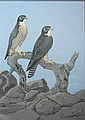 Peter Slater (b.1932) Peregrine Falcons Gouache/watercolour