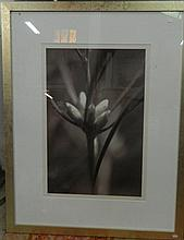 Chris A Jones, Hakea 2001, black & white digital photograph, signed lower right, 68 x 44.5 cm