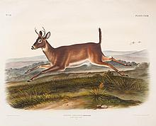 Long-Tailed Deer