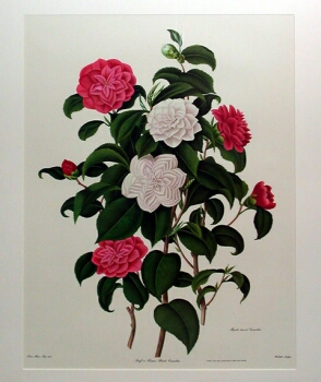 Samuel Curtis MYRTLE-LEAVED CAMELLIA and SINGLE-WHITE CAMELLIA Two photoreproductions after Clara Maria Pope. Sight of each sheet 23 x 17 inches
