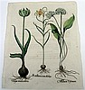 1 piece. [Besler, Basilius.] Hand-Colored Botanical Engraving.