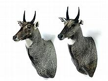 TWO TAXIDERMY SHOULDER MOUNTS.
