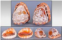 Pair Of Italian Conch Shells, carved with cameo