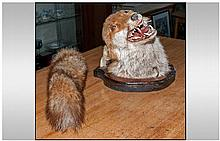 Taxidermy. A Mounted Fox Head on Plaque.