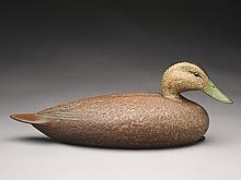 Black duck, David Ward, Essex, Connecticut.