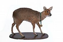 A FULL-MOUNT OF A GOLD MEDAL CHINESE WATER DEER,