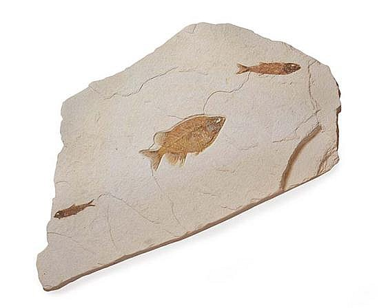 FOSSIL FISH, PHAREODUS SPECIES, EOCENE (APPROXIMATELY 40 MILLION YEARS OLD), GREEN RIVER, KEMMERER, WYOMING, U.S.A., 69CM X 43CM X 5...