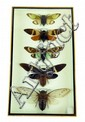 Insect: 6 Cicadas  in a case.