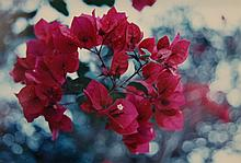 Framed Bougainvillea Photograph