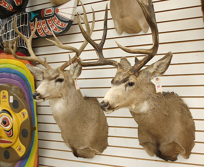 TWO WESTERN MULE DEER TROPHY MOUNTS, each a large