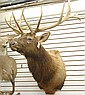 TROPHY BULL ELK TAXIDERMY MOUNT, Rocky Mountain