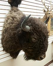 PLAINS BISON (AMERICAN BUFFALO) TAXIDERMY MOUNT,