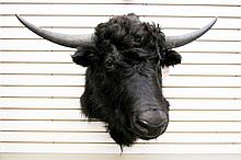TROPHY TAXIDERMY GAME MOUNT, feral yak bull
