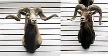 TWO RAM SHEEP TROPHY HEAD MOUNTS: Mouflon sheep