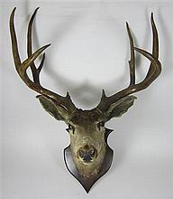 TAXIDERMY STAG'S HEAD tip to tip 56cm wide approx.