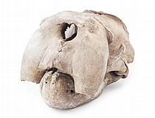 <sup>Y</sup> FEMALE WALRUS SKULL EARLY 20TH CENTURY 40cm long approx.